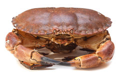 Cancer pagurus sea crab on white background. Fresh raw edible brown sea crab also known as Cancer pagurus   on white background Royalty Free Stock Photo