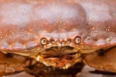Cancer pagurus sea crab on white background. Fresh raw edible brown sea crab also known as Cancer pagurus   on white background Stock Photography