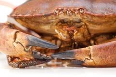 Cancer pagurus sea crab on white background. Fresh raw edible brown sea crab also known as Cancer pagurus   on white background Stock Image