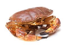 Cancer pagurus sea crab on white background Stock Image