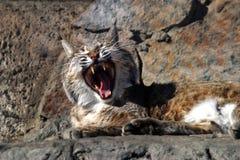 Canción de un gato salvaje Imágenes de archivo libres de regalías