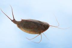 cancriformis虾蝌蚪triops 图库摄影
