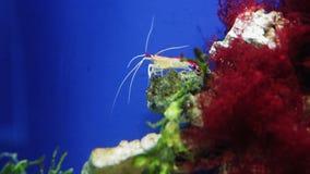 Cancro rosso sulle piante acquatiche nell'acquario archivi video
