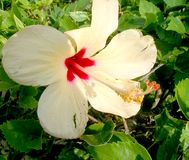 Cancun Lily. White flower with red center long white stamen Stock Photography