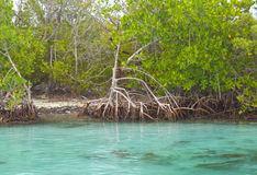 cancun mangroves Royaltyfria Bilder
