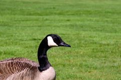 Canda goose closeup and green grass. Canda goose closeup on the left and a fresh green grass background Stock Photography