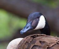 Canda Goose Profile Royalty Free Stock Photos