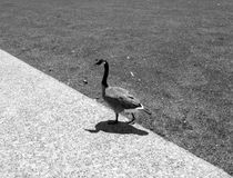 Canda Goose walking on trail in park Royalty Free Stock Photo
