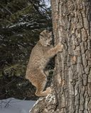 Canda Lynx clinging to a tree trunk. Canada Lynx blends so well with the colors of the tree trunk.   Lynx Canadensis.  Triple D Game Farm Kalispell, Montana USA Stock Photo