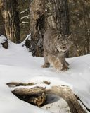 Canda Lynx raising his paw off the cold snow. Canada Lynx appears to be trying to keep his paw off the cold snow.  Triple D Game Farm Kalispell, Montana USA Stock Images