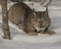 Canda Lynx in the snow. Canada Lynx gazing at the camera from his snowy bed.  Triple D Game Farm Kalispell, Montana USA Royalty Free Stock Photography
