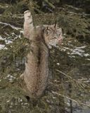 Canda Lynx up a tree. Canada Lynx appears to be wondering how to get down from his tree perch.  Triple D Game Farm Kalispell, Montana USA Royalty Free Stock Photography