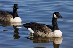 Candadian Goose (Branta canadensis). On the water Stock Photography