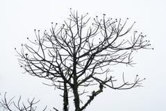 Candeia ` s树剪影在巴西 免版税库存照片
