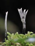 Candela Snuff Fungi Immagine Stock Libera da Diritti
