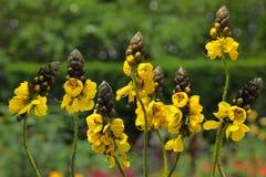 Candelabra Bush Plant Stock Photos