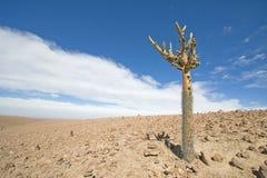 Candelabra Cactus in the Atacama Desert, Chile. Candelabra Cactus tree (Browningia candelaris) in the Atacama Desert. Cactus stands alone against the rolling royalty free stock photo