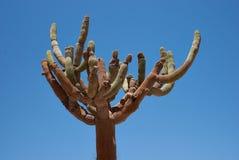 Candelabra Cactus Royalty Free Stock Image