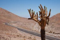 Candelabra Cactus Royalty Free Stock Photos