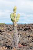 Candelabra catus Galapagos arid areas. Royalty Free Stock Image