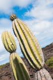 Candelabra catus Galapagos arid areas. Stock Photos