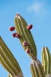 Candelabra catus Galapagos arid areas. Stock Photos