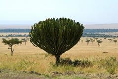 Candelabra euphorbia (Euphorbia candelabrum) Stock Photography