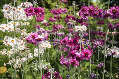 Candelabra Primula Royalty Free Stock Photography