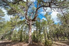 Candelabra shape pine tree Royalty Free Stock Photos