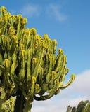 Candelabra tree - euphorbia ingens. Four meters high euphorbia just blossoming Stock Image