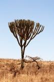 Candelabra Tree royalty free stock photos