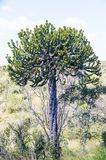 Candelebra tree in the bush. Candelabra tree or euphorbia tree is well suited to the heat in the kruger park. South Africa royalty free stock images
