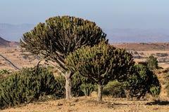 Candelabra Trees Euphorbia candelabrum near Wukro Cherkos in Ethiopia royalty free stock photos