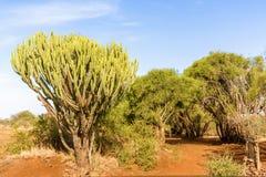 Candelabro do eufórbio da árvore do eufórbio dos candelabros, Kenya imagens de stock