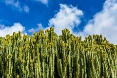 Candelabrum spurge (Euphorbia candelabrum) cactus in cactus garden Royalty Free Stock Photos