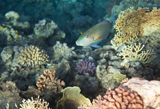 Candelamoa parrotfish Royalty Free Stock Image