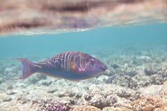 Candelamoa parrotfish Stock Image