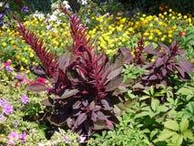 Candele rosse di Borgogna dei fiori sboccianti nel letto di fiore fra verde scuro come le foglie bruciate Fotografia Stock Libera da Diritti