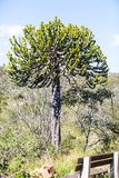 Candelebra tree in the bush. Candelabra tree or euphorbia tree is well suited to the heat in the kruger park. South Africa stock photos