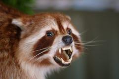 candian的獾 免版税库存照片
