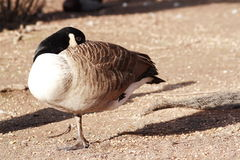 Candian geese Stock Photography