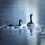 Candian Geese & Gosling Family Royalty Free Stock Images