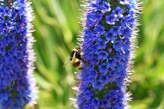 Candicans del Echium con la abeja Imagen de archivo libre de regalías