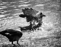 Candid photo of crow bathing in pond water Stock Photos
