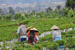 Candid on harvest strawberry. Harvest strawberry  bandung Royalty Free Stock Photos