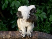 Candid photo of mother and baby cotton-top Tamarin monkeys Stock Photo
