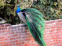 Candid picture of a Peacock royalty free stock image