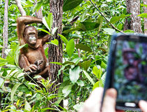 Candid pose of an Orang Utan and a tourist phone camera Royalty Free Stock Photos