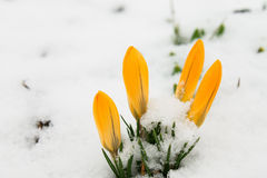 Candid primroses flowers yellow crocus closeup Royalty Free Stock Images
