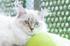 Candid puppy of cat, siberian breed neva masquerade version Royalty Free Stock Photography